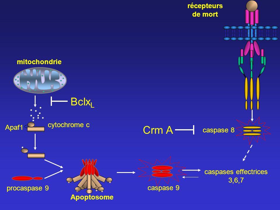 caspase 8 caspases effectrices 3,6,7 Apaf1 caspase 9 récepteurs de mort cytochrome c mitochondrie Bclx L Crm A Apoptosome procaspase 9