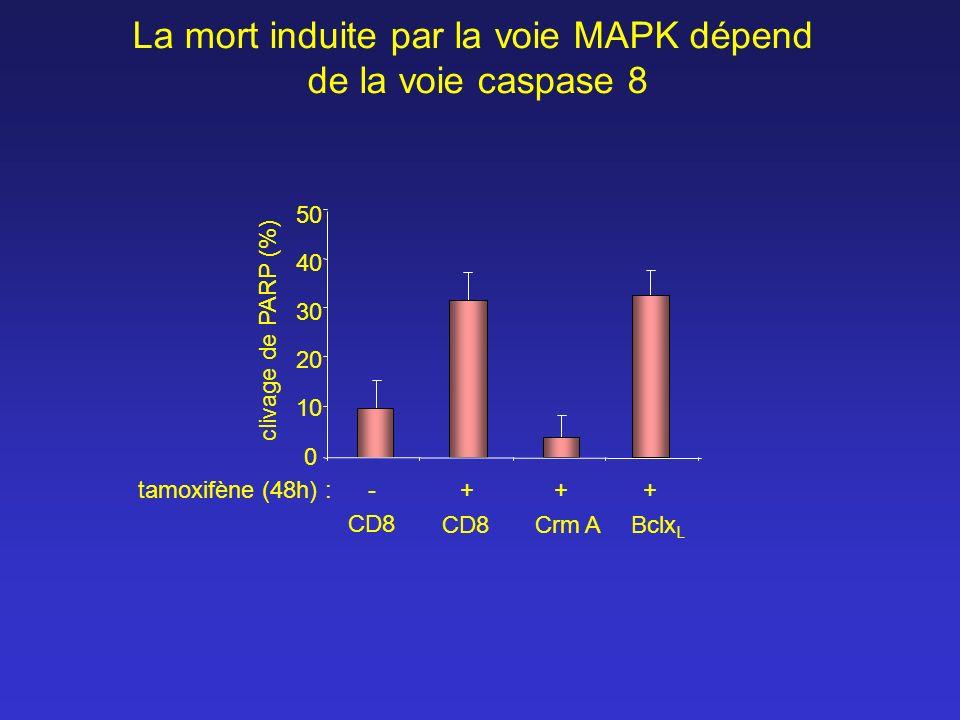 CD8 Crm ABclx L 10 20 30 40 50 clivage de PARP (%) -++tamoxifène (48h) : 0 + CD8 La mort induite par la voie MAPK dépend de la voie caspase 8