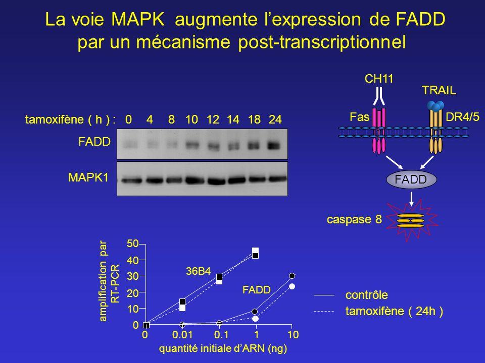 La voie MAPK augmente lexpression de FADD par un mécanisme post-transcriptionnel tamoxifène ( h ) :0412182414108 FADD contrôle tamoxifène ( 24h ) ampl