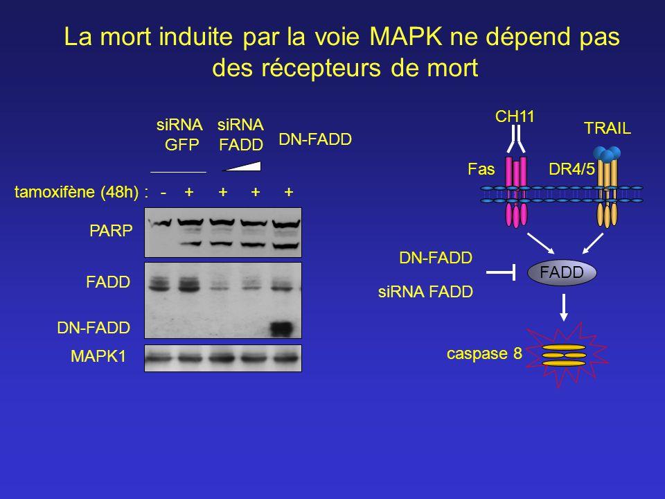 La mort induite par la voie MAPK ne dépend pas des récepteurs de mort FADD MAPK1 -++++ siRNA GFP siRNA FADD DN-FADD PARP DN-FADD CH11 TRAIL FADD FasDR