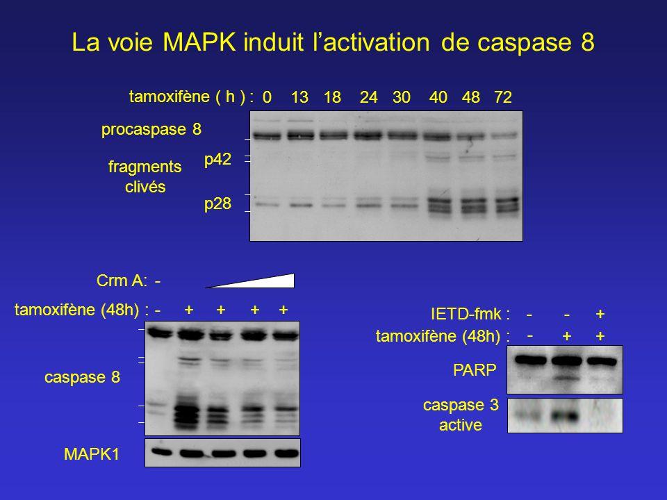 - ++ +IETD-fmk :-- PARP caspase 3 active caspase 8 - ++tamoxifène (48h) :+ Crm A: + - La voie MAPK induit lactivation de caspase 8 procaspase 8 0 13 1