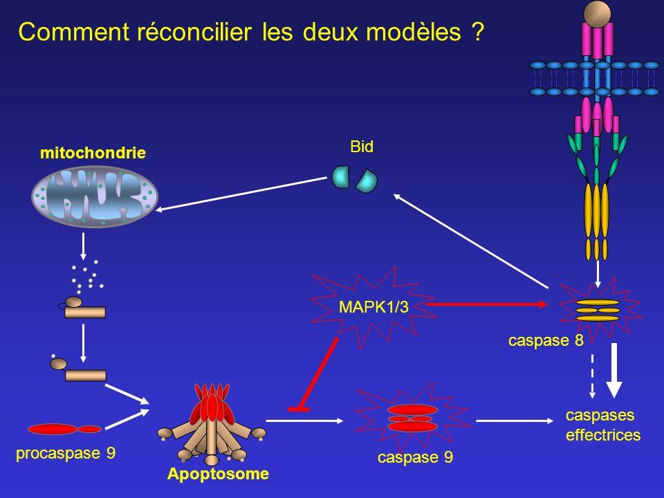 caspase 8 caspases effectrices caspase 9 mitochondrie MAPK1/3 Comment réconcilier les deux modèles ? Bid Apoptosome procaspase 9