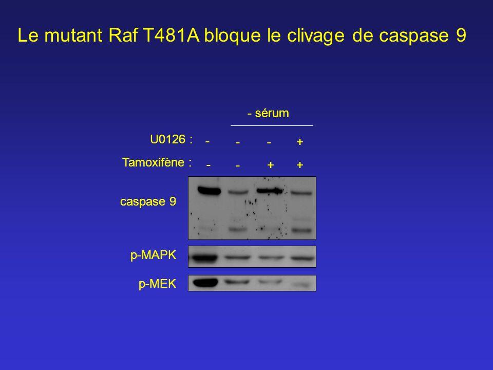 caspase 9 - - - + - + + Tamoxifène : U0126 : p-MAPK p-MEK - sérum - Le mutant Raf T481A bloque le clivage de caspase 9