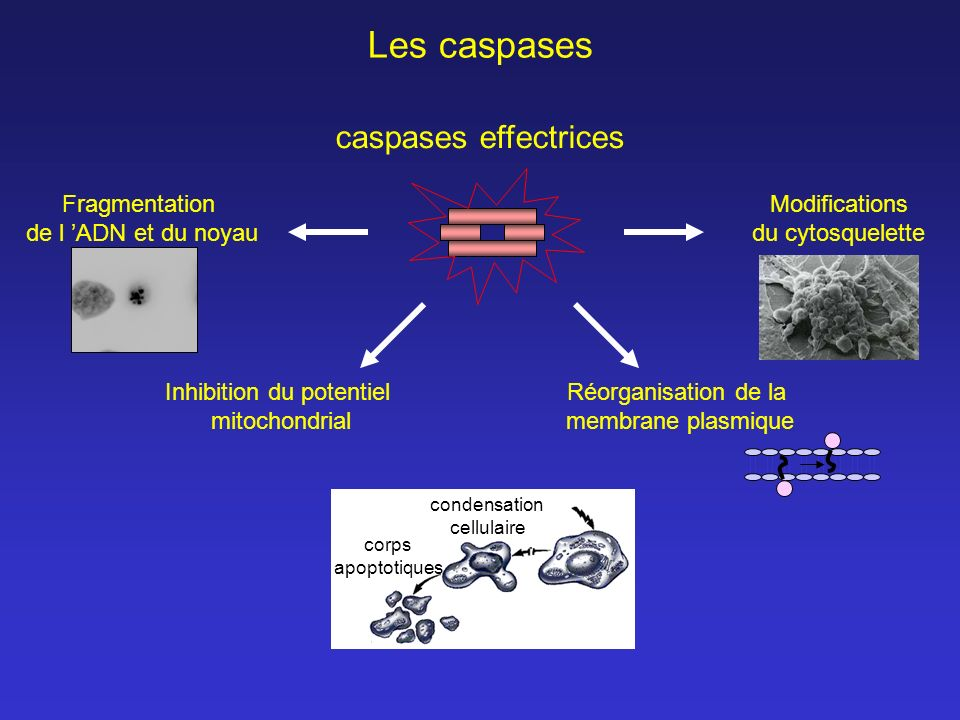 Les caspases caspases effectrices Modifications du cytosquelette Fragmentation de l ADN et du noyau Inhibition du potentiel mitochondrial Réorganisati