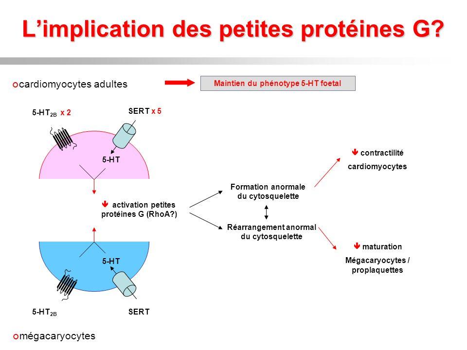 Limplication des petites protéines G? cardiomyocytes adultes 5-HT 2B x 2 5-HT SERT x 5 mégacaryocytes 5-HT 5-HT 2B SERT Maintien du phénotype 5-HT foe