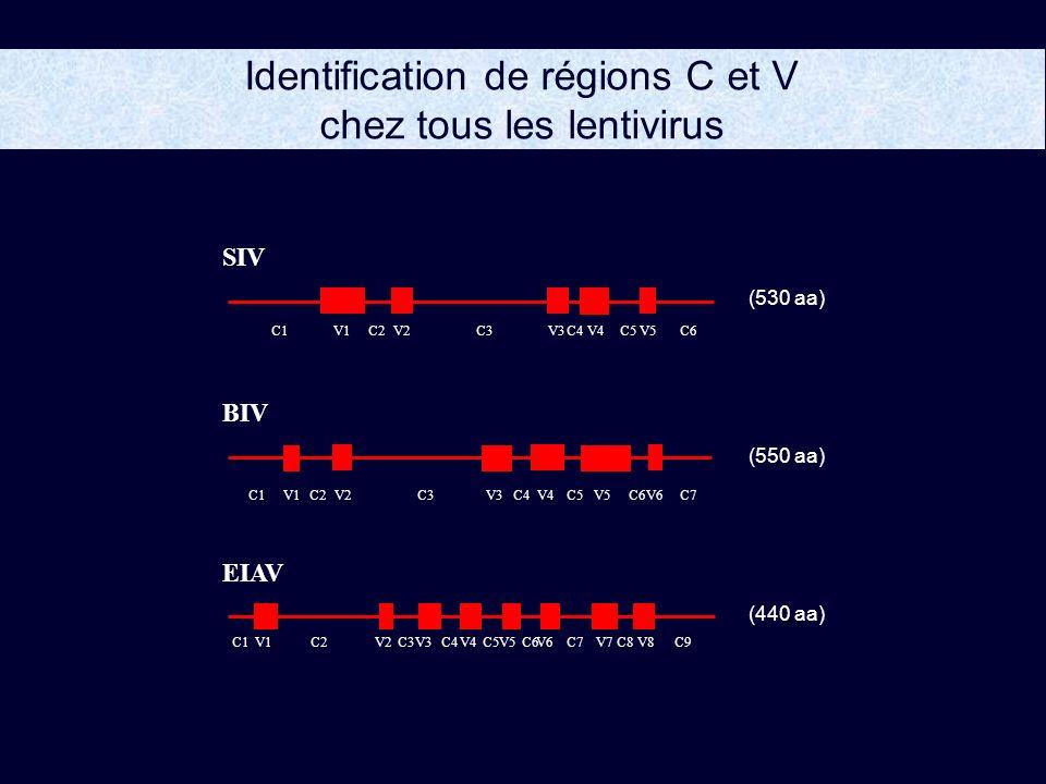 Identification de régions C et V chez tous les lentivirus BIV V1V2V3V4V5V6 (550 aa) C1C2C3C4C5C6C7 EIAV V1V2V3V4V5V6 V7V8 (440 aa) C1 C2C3 C4C5 C6C7 C8C9 SIV V1V2V3V4V5 (530 aa) C1C2C3C4C5C6