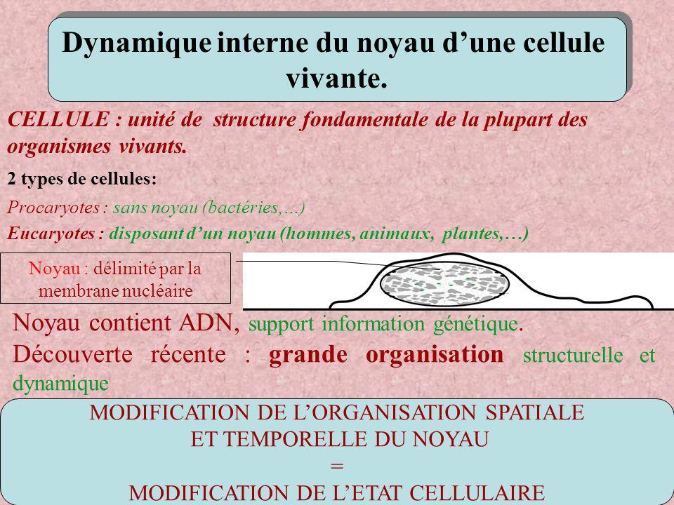 MODIFICATION DE LORGANISATION SPATIALE ET TEMPORELLE DU NOYAU = MODIFICATION DE LETAT CELLULAIRE Dynamique interne du noyau dune cellule vivante. Dyna