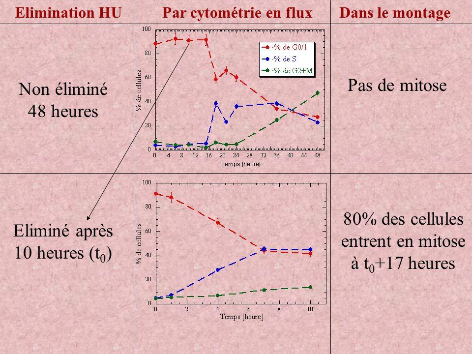 Pas de mitose Par cytométrie en fluxDans le montageElimination HU Non éliminé 48 heures Eliminé après 10 heures (t 0 ) 80% des cellules entrent en mit