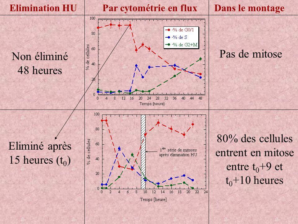 Pas de mitose Par cytométrie en fluxDans le montageElimination HU Non éliminé 48 heures Eliminé après 15 heures (t 0 ) 80% des cellules entrent en mit