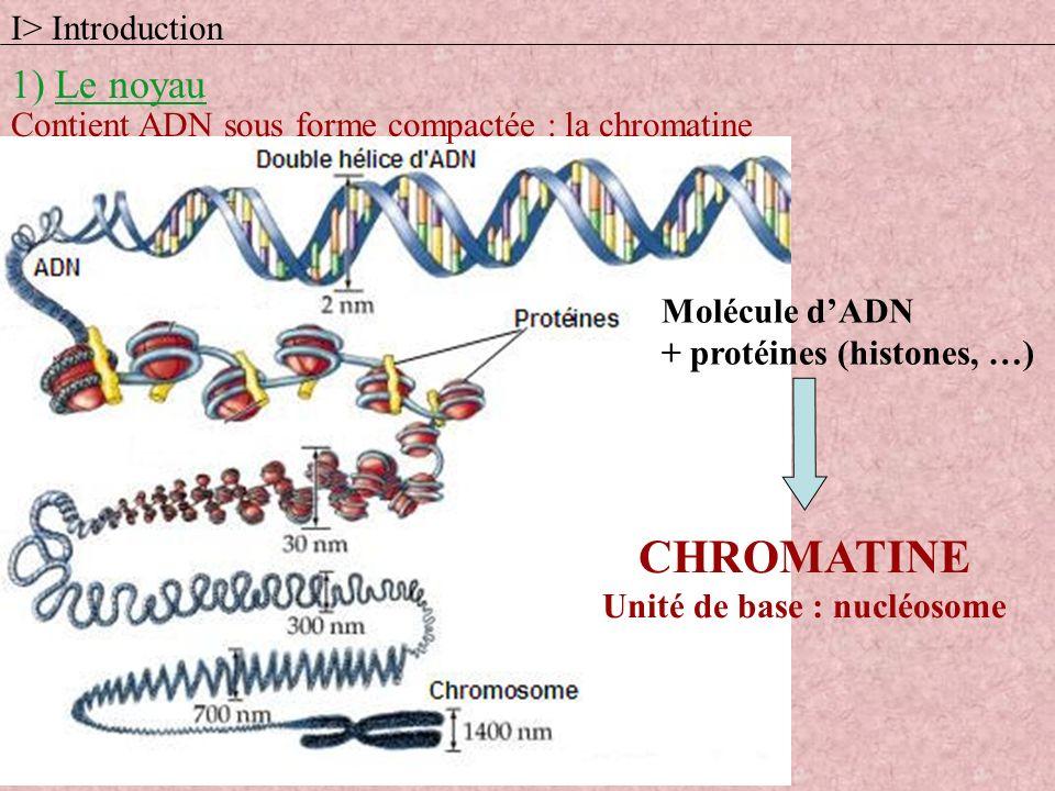 Contient ADN sous forme compactée : la chromatine Molécule dADN + protéines (histones, …) CHROMATINE Unité de base : nucléosome 1) Le noyau I> Introdu