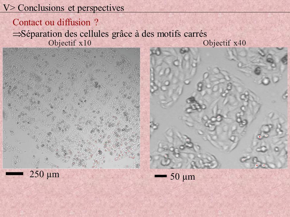 Contact ou diffusion ? Séparation des cellules grâce à des motifs carrés 50 µm 250 µm Objectif x10Objectif x40 V> Conclusions et perspectives