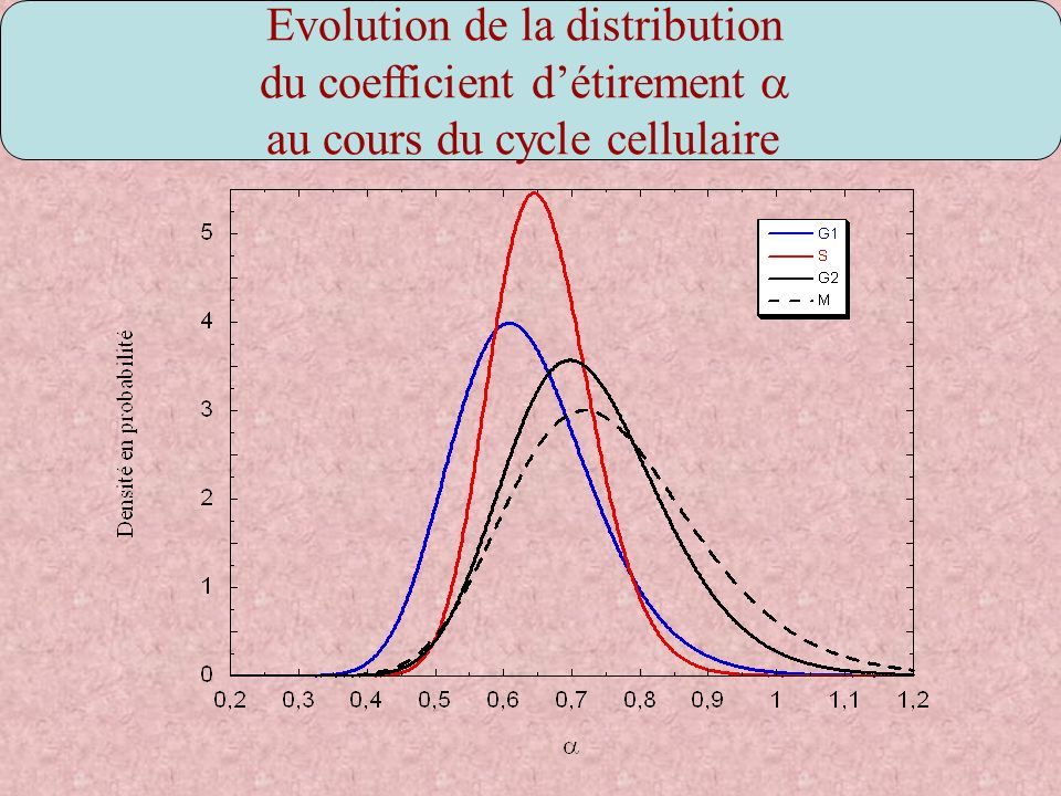Evolution de la distribution du coefficient détirement au cours du cycle cellulaire