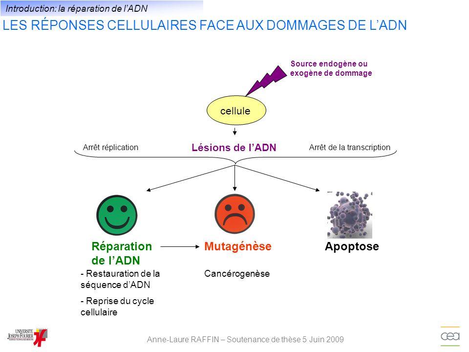 LES DIFFÉRENTES LÉSIONS DE LADN Anne-Laure RAFFIN – Soutenance de thèse 5 Juin 2009 XU XXX A G T X X CH 3 C (CH 3 ) n T XX Site abasique Adduits volumineux Dimère de Pyrimidine Coupure double brins Pontages intra et inter-brin UracileModification de la base Alkylation mésappariement O 6 methyl guanosine Introduction: la réparation de lADN