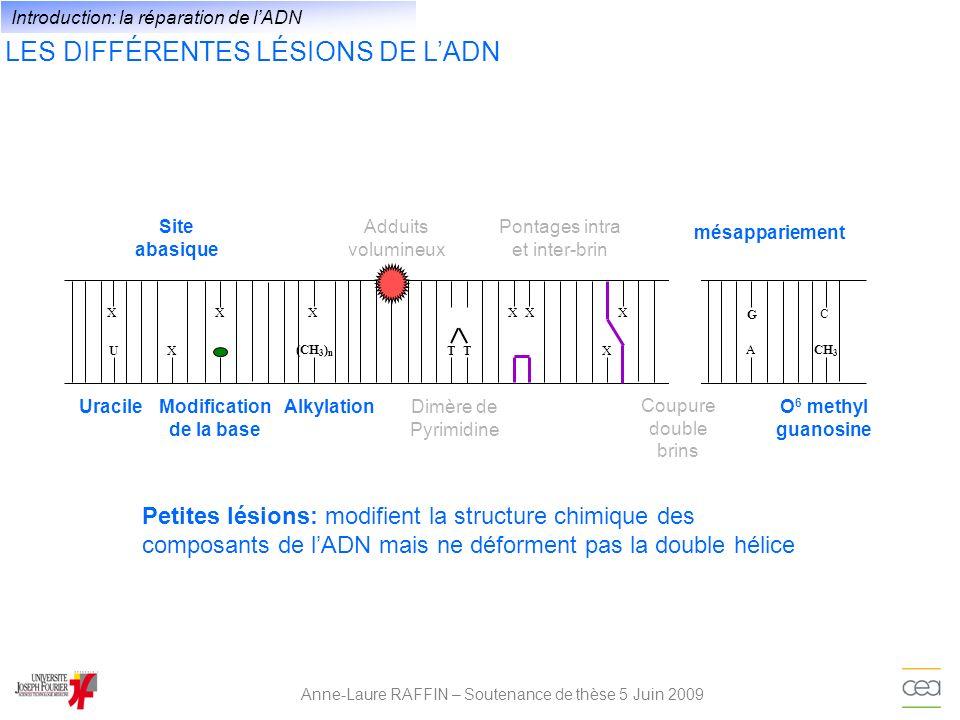 LES DIFFÉRENTES LÉSIONS DE LADN Anne-Laure RAFFIN – Soutenance de thèse 5 Juin 2009 XU XXX A G T X X CH 3 C (CH 3 ) n T XX Site abasique Adduits volumineux Dimère de Pyrimidine Coupure double brins Pontages intra et inter-brin UracileModification de la base Alkylation mésappariement O 6 methyl guanosine Lésions volumineuses: modifient la structure chimique des composants de lADN et déforment la double hélice Introduction: la réparation de lADN