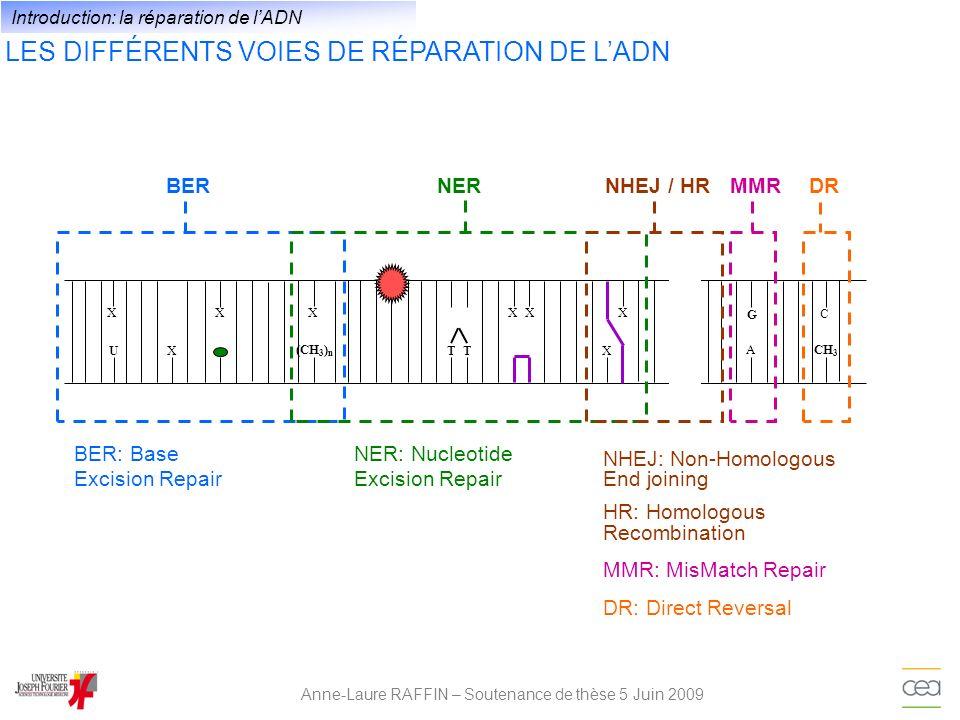 LES ÉTAPES ET FACTEURS DE LA BER ET DE LA NER Anne-Laure RAFFIN – Soutenance de thèse 5 Juin 2009 Reconnaissance du dommage BER NER XPC, (XPE), XPA and TFIIH Glycosylases Excision du dommage Glycosylases + AP endonucléase Endonucléases XPG et XPF-ERCC1, XPA Resynthèse de lADN Polymérases δ, ε, RPA, XPA.