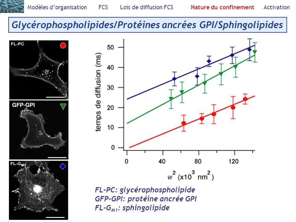 Modèles dorganisation FCS Lois de diffusion FCS Nature du confinement Activation Glycérophospholipides/Protéines ancrées GPI/Sphingolipides FL-PC: glycérophospholipide GFP-GPI: protéine ancrée GPI FL-G M1 : sphingolipide