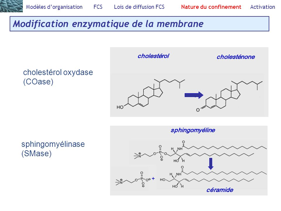 Modification enzymatique de la membrane Modèles dorganisation FCS Lois de diffusion FCS Nature du confinement Activation cholestérol oxydase (COase) cholestérol cholesténone sphingomyélinase (SMase) + sphingomyéline céramide