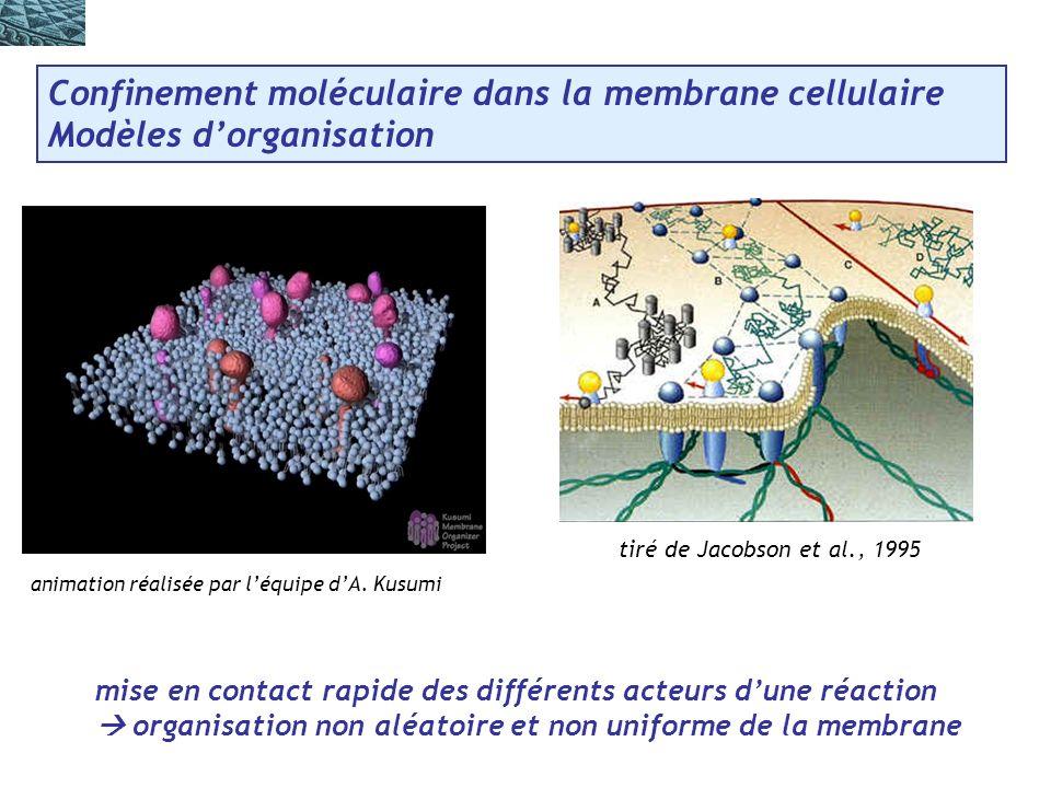 Confinement moléculaire dans la membrane cellulaire Modèles dorganisation tiré de Jacobson et al., 1995 mise en contact rapide des différents acteurs dune réaction organisation non aléatoire et non uniforme de la membrane animation réalisée par léquipe dA.