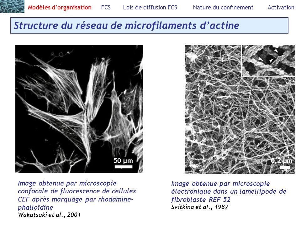 Modèles dorganisation FCS Lois de diffusion FCS Nature du confinement Activation Structure du réseau de microfilaments dactine 50 µ m 0,2 µm Image obtenue par microscopie confocale de fluorescence de cellules CEF après marquage par rhodamine- phalloïdine Wakatsuki et al., 2001 Image obtenue par microscopie électronique dans un lamellipode de fibroblaste REF-52 Svitkina et al., 1987