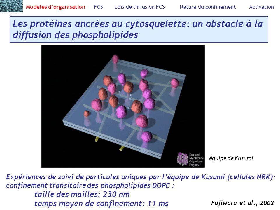 Modèles dorganisation FCS Lois de diffusion FCS Nature du confinement Activation Les protéines ancrées au cytosquelette: un obstacle à la diffusion des phospholipides équipe de Kusumi Expériences de suivi de particules uniques par léquipe de Kusumi (cellules NRK): confinement transitoire des phospholipides DOPE : taille des mailles: 230 nm temps moyen de confinement: 11 ms Fujiwara et al., 2002