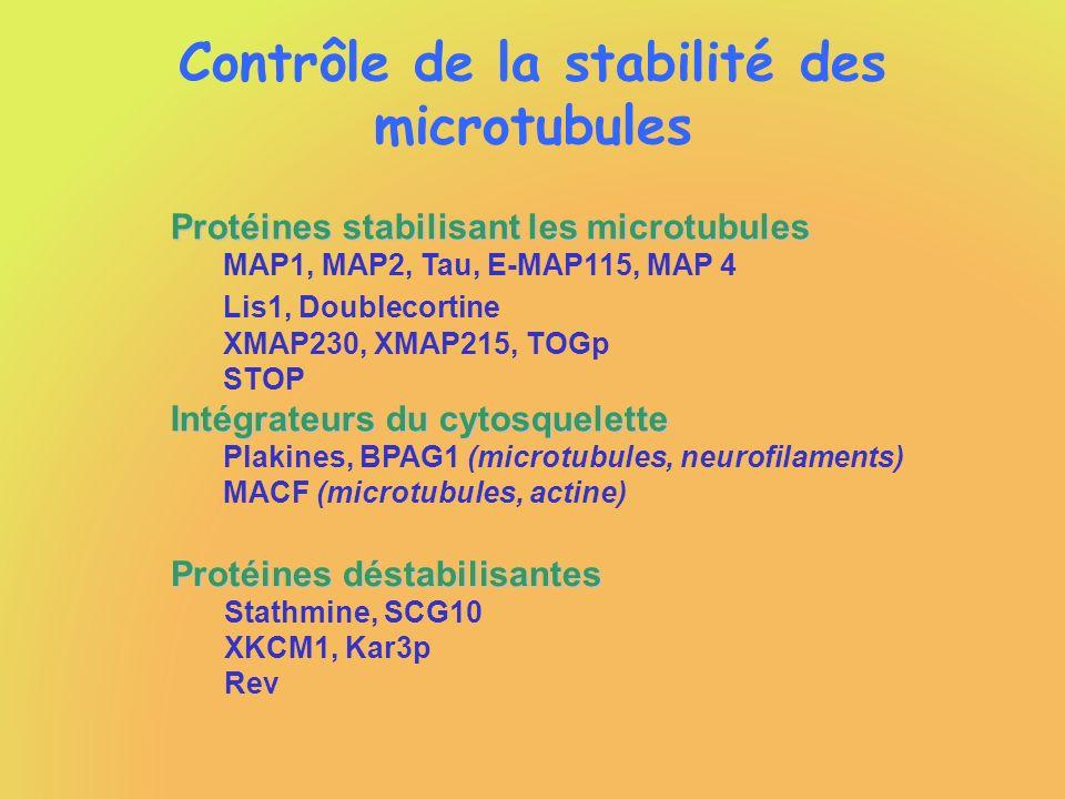 Contrôle de la stabilité des microtubules Protéines stabilisant les microtubules MAP1, MAP2, Tau, E-MAP115, MAP 4 Lis1, Doublecortine XMAP230, XMAP215