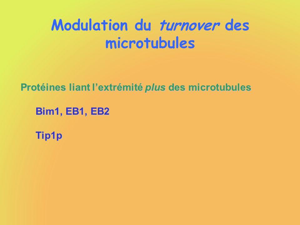 Modulation du turnover des microtubules Protéines liant lextrémité plus des microtubules Bim1, EB1, EB2 Tip1p