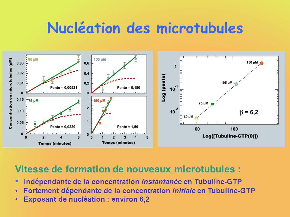 Nucléation des microtubules Vitesse de formation de nouveaux microtubules : Indépendante de la concentration instantanée en Tubuline-GTP Fortement dép