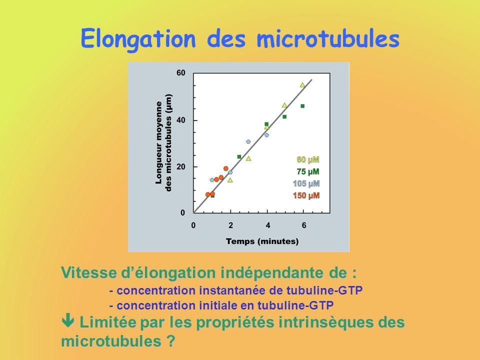 Elongation des microtubules Vitesse délongation indépendante de : - concentration instantanée de tubuline-GTP - concentration initiale en tubuline-GTP