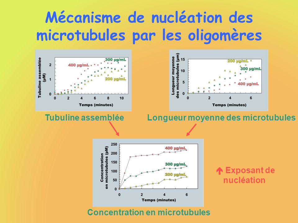 Mécanisme de nucléation des microtubules par les oligomères Tubuline assemblée Longueur moyenne des microtubules Concentration en microtubules Exposan
