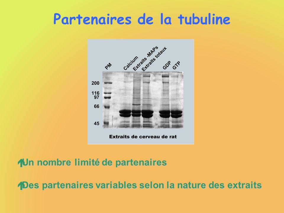 Partenaires de la tubuline éUn nombre limité de partenaires éDes partenaires variables selon la nature des extraits