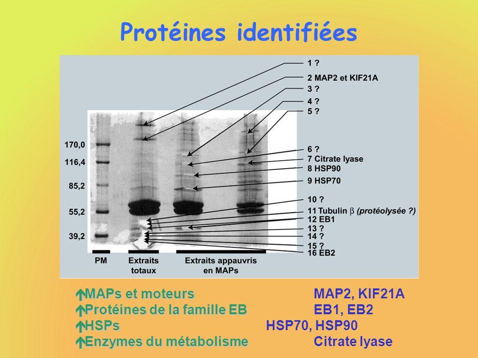 Protéines identifiées é MAPs et moteurs é MAPs et moteursMAP2, KIF21A é Protéines de la famille EB é Protéines de la famille EBEB1, EB2 é HSPs é HSPsH