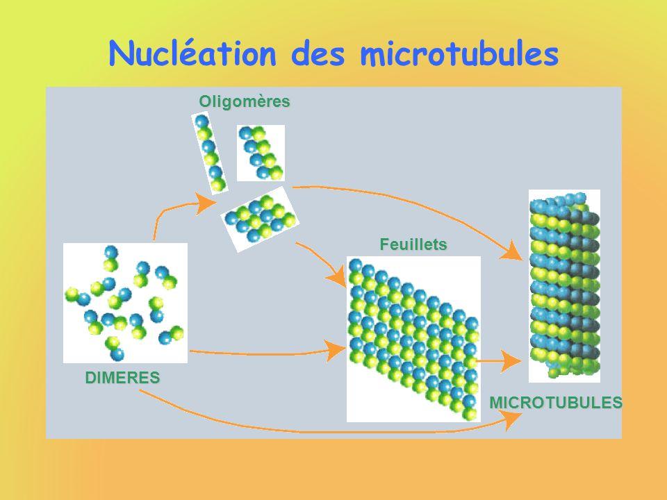 Nucléation des microtubules Vitesse de formation de nouveaux microtubules : Indépendante de la concentration instantanée en Tubuline-GTP Fortement dépendante de la concentration initiale en Tubuline-GTP Exposant de nucléation : environ 6,2