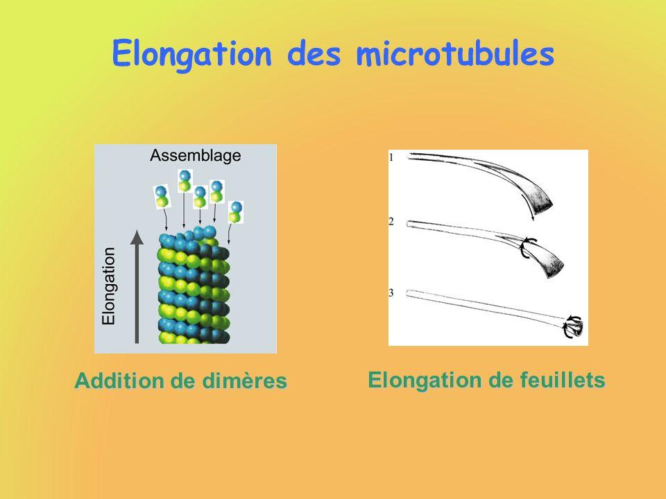 Elongation des microtubules Vitesse délongation indépendante de : - concentration instantanée de tubuline-GTP - concentration initiale en tubuline-GTP Limitée par les propriétés intrinsèques des microtubules .