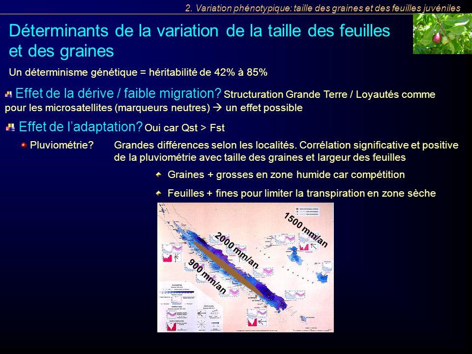 1500 mm/an 2000 mm/an 900 mm/an 2. Variation phénotypique: taille des graines et des feuilles juvéniles Déterminants de la variation de la taille des