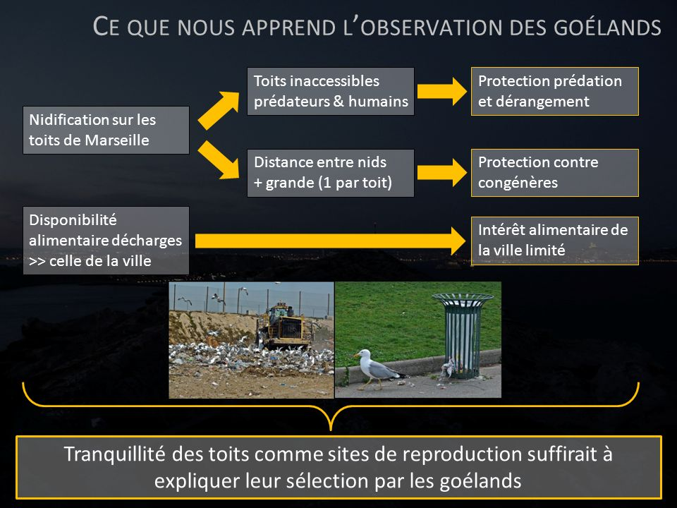 C E QUE NOUS APPREND L OBSERVATION DES GOÉLANDS Nidification sur les toits de Marseille Protection prédation et dérangement Toits inaccessibles prédat
