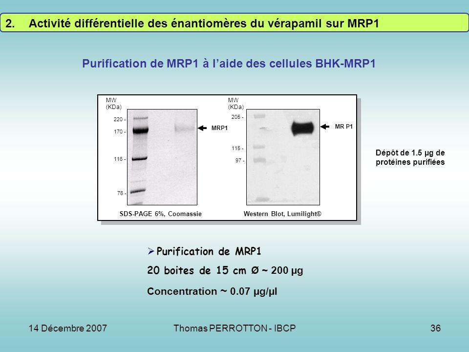 14 Décembre 2007Thomas PERROTTON - IBCP36 Purification de MRP1 à laide des cellules BHK-MRP1 MRP1 SDS-PAGE 6%, Coomassie MW (KDa) 220 - 170 - 116 - 76 - MR P1 MW (KDa) 205 - 115 - 97 - Western Blot, Lumilight® Purification de MRP1 20 boites de 15 cm Ø ~ 200 µg Concentration ~ 0.07 µg/µl Dépôt de 1.5 µg de protéines purifiées 2.Activité différentielle des énantiomères du vérapamil sur MRP1