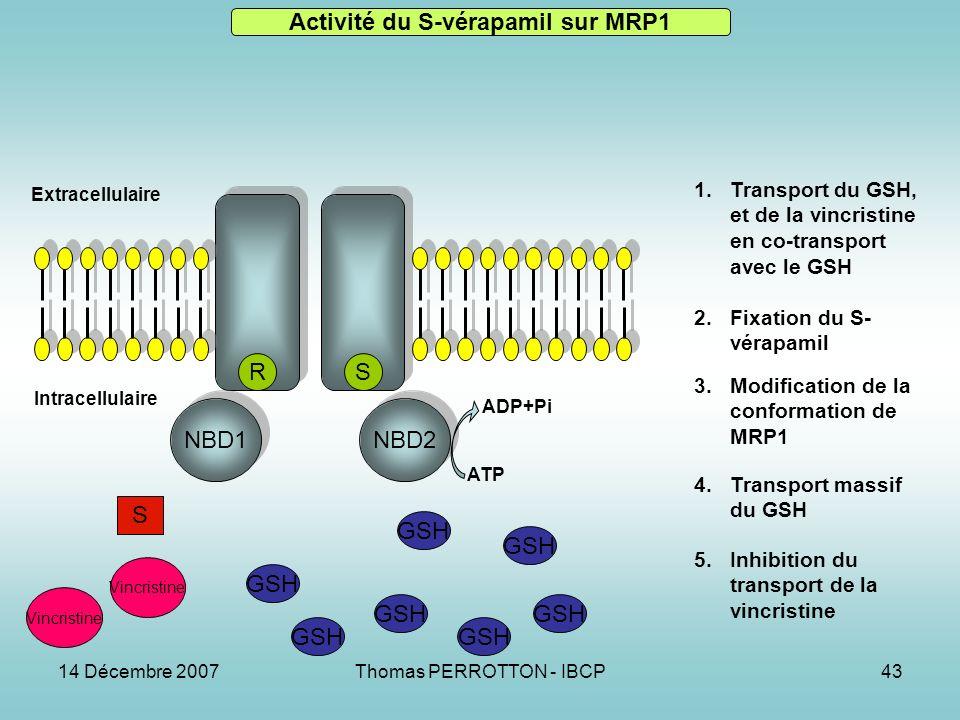 14 Décembre 2007Thomas PERROTTON - IBCP43 NBD1 NBD2 RS GSH S Vincristine Activité du S-vérapamil sur MRP1 1.Transport du GSH, et de la vincristine en co-transport avec le GSH 2.Fixation du S- vérapamil 3.Modification de la conformation de MRP1 4.Transport massif du GSH 5.Inhibition du transport de la vincristine Extracellulaire Intracellulaire ATP ADP+Pi