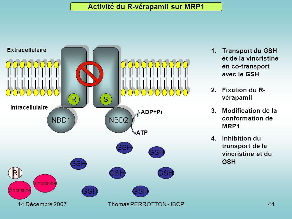 14 Décembre 2007Thomas PERROTTON - IBCP44 NBD1 NBD2 RS R GSH Vincristine 1.Transport du GSH et de la vincristine en co-transport avec le GSH 2.Fixation du R- vérapamil 3.Modification de la conformation de MRP1 4.Inhibition du transport de la vincristine et du GSH Activité du R-vérapamil sur MRP1 Extracellulaire Intracellulaire ATP ADP+Pi