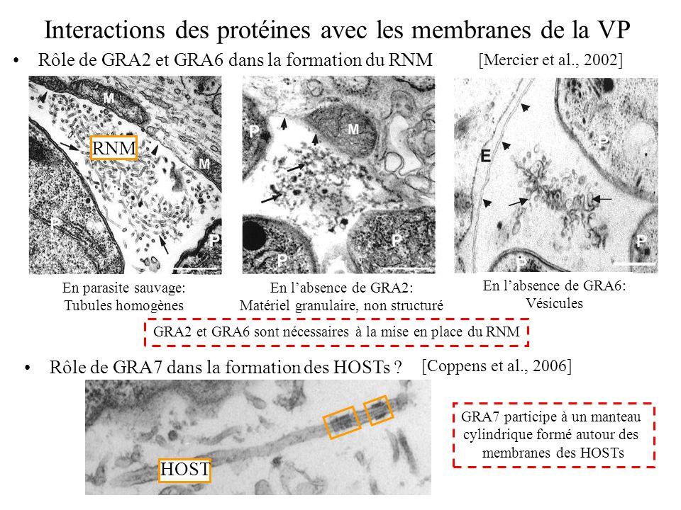 Interactions des protéines avec les membranes de la VP Rôle de GRA2 et GRA6 dans la formation du RNM [Mercier et al., 2002] En parasite sauvage: Tubul