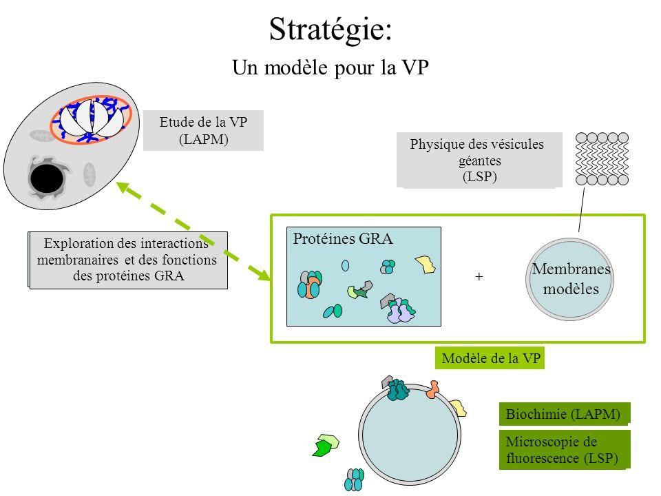 Stratégie: Microscopie de fluorescence (LSP) Biochimie (LAPM) Un modèle pour la VP Physique des vésicules géantes (LSP) Etude de la VP (LAPM) Explorat