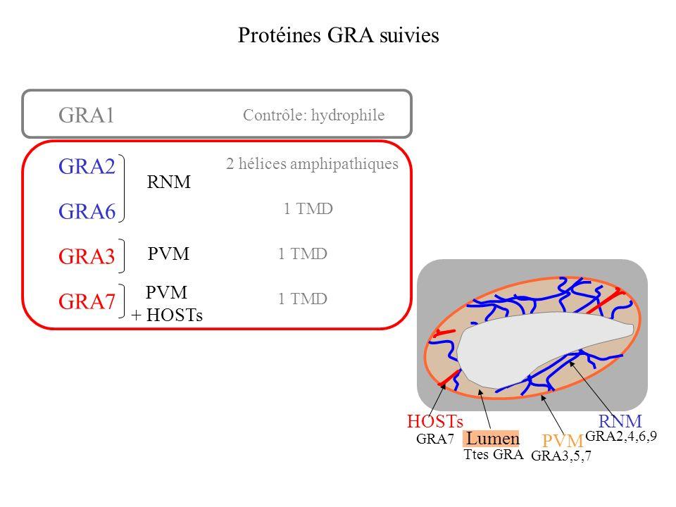 Protéines GRA suivies Contrôle: hydrophile 2 hélices amphipathiques 1 TMD GRA1 GRA2 GRA6 GRA3 GRA7 RNM PVM + HOSTs 1 TMD PVM HOSTsRNM Lumen GRA7 Ttes