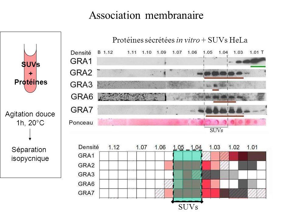 Association membranaire SUVs + Protéines Agitation douce 1h, 20°C Séparation isopycnique Protéines sécrétées in vitro + SUVs HeLa SUVs