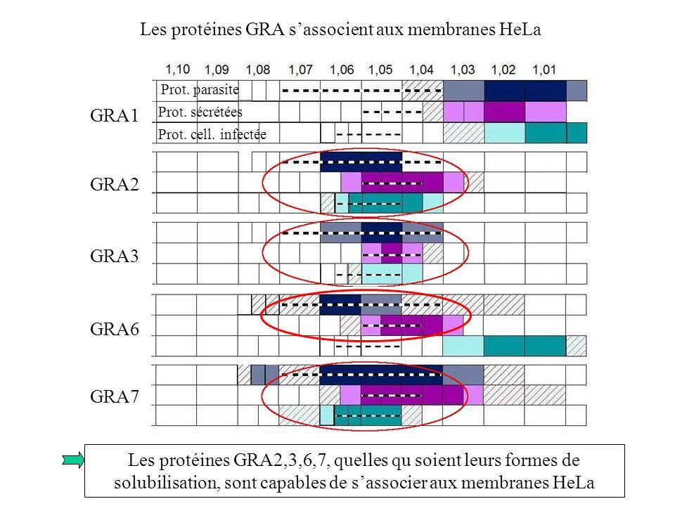 Les protéines GRA sassocient aux membranes HeLa GRA1 GRA2 GRA3 GRA6 GRA7 Prot. parasite Prot. sécrétées Prot. cell. infectée Les protéines GRA2,3,6,7,