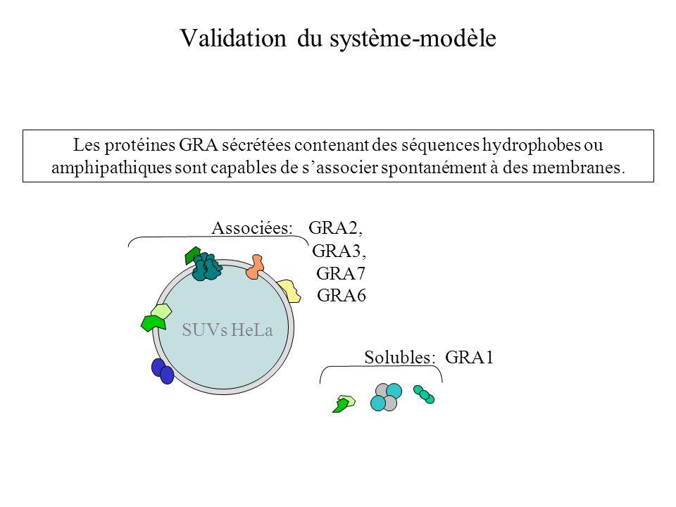 Validation du système-modèle Les protéines GRA sécrétées contenant des séquences hydrophobes ou amphipathiques sont capables de sassocier spontanément