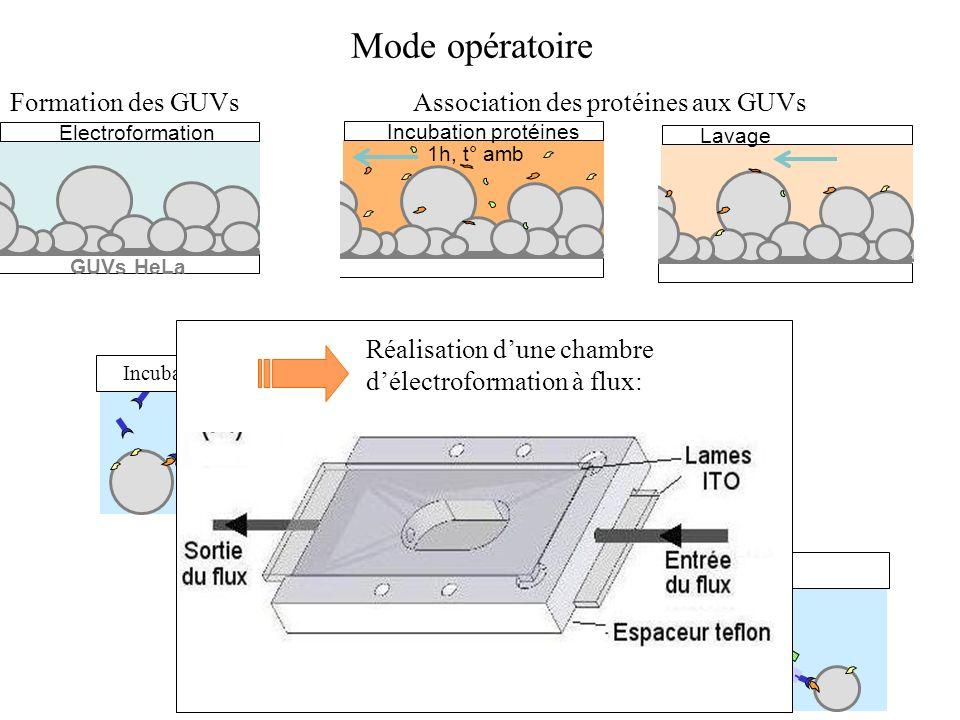 Electroformation GUVs HeLa Lavage Incubation AC primaire Incubation AC secondaire Lavage Mode opératoire Incubation protéines 1h, t° amb Association d
