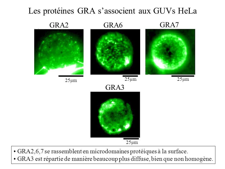 Les protéines GRA sassocient aux GUVs HeLa GRA2 GRA7 GRA3 GRA6 25µm GRA2,6,7 se rassemblent en microdomaines protéiques à la surface. GRA3 est réparti