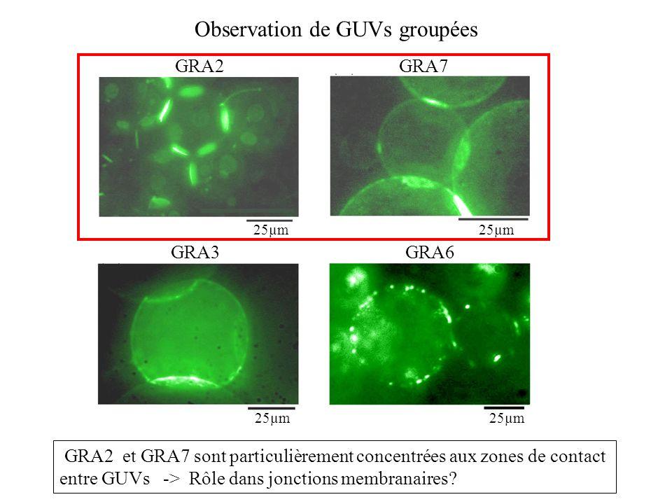Observation de GUVs groupées GRA2 et GRA7 sont particulièrement concentrées aux zones de contact entre GUVs -> Rôle dans jonctions membranaires? GRA2G