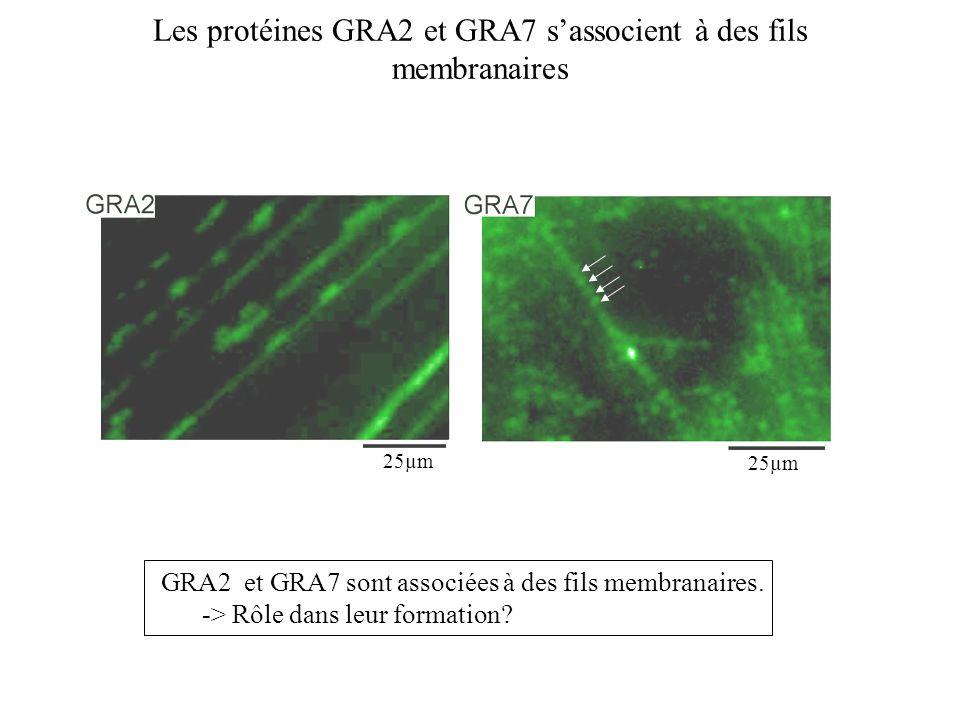 Les protéines GRA2 et GRA7 sassocient à des fils membranaires GRA2 et GRA7 sont associées à des fils membranaires. -> Rôle dans leur formation? 25µm