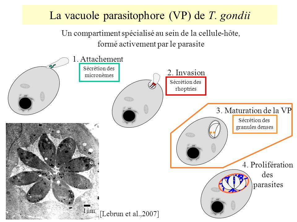 La vacuole parasitophore (VP) de T. gondii Un compartiment spécialisé au sein de la cellule-hôte, formé activement par le parasite Sécrétion des micro