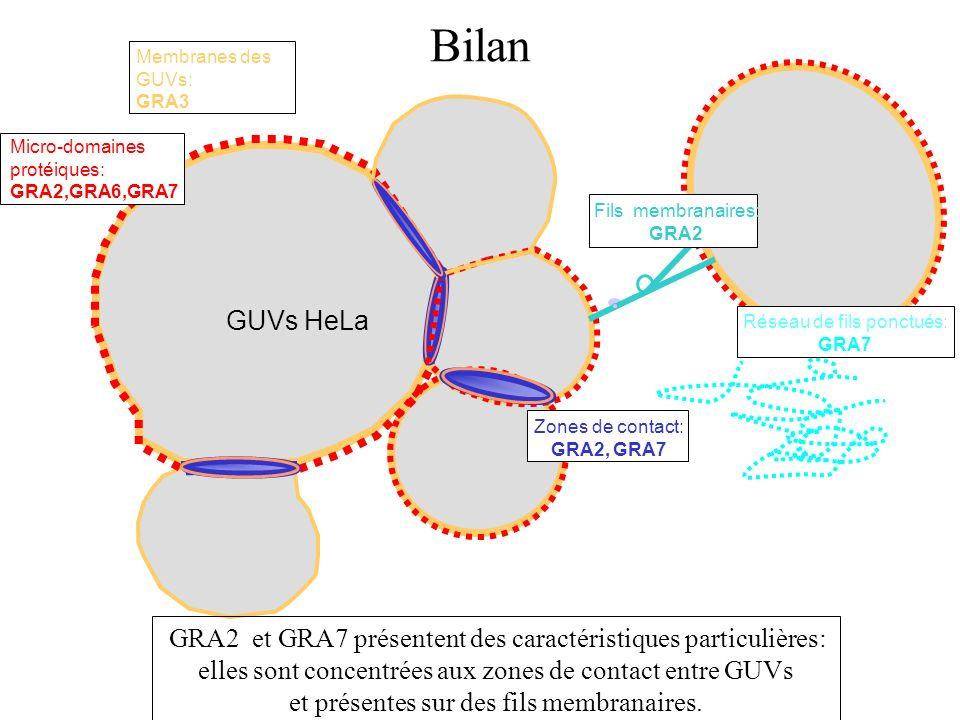 Bilan GUVs HeLa Membranes des GUVs: GRA3 Zones de contact: GRA2, GRA7 Micro-domaines protéiques: GRA2,GRA6,GRA7 Réseau de fils ponctués: GRA7 Fils mem